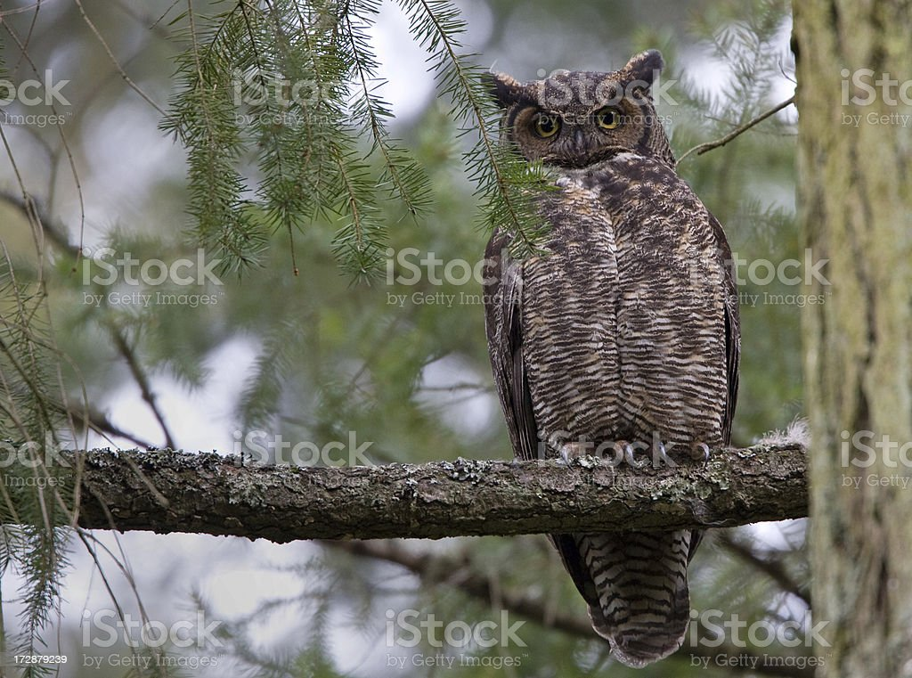 Great Horned-Owl royalty-free stock photo