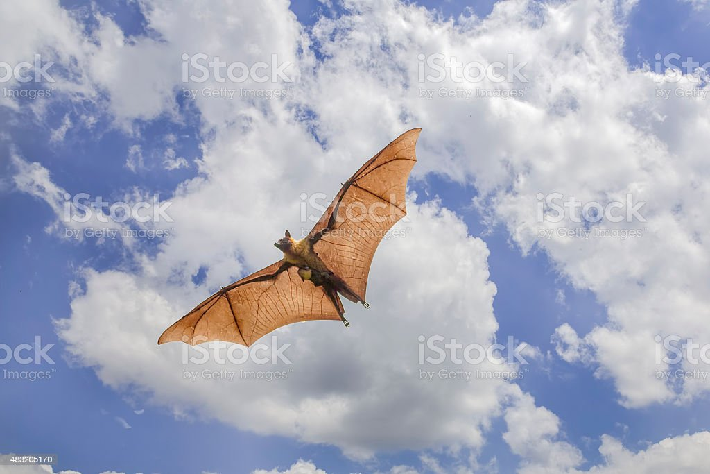 Great Indian Flying Fox (bat) flying in the sky stock photo