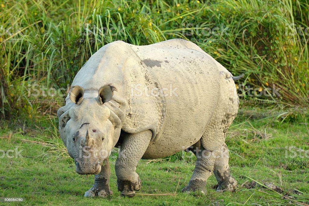 Great Indian Rhino stock photo