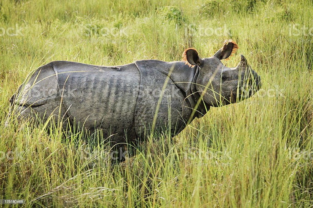 Great Indian Rhinoceros in Nepal stock photo