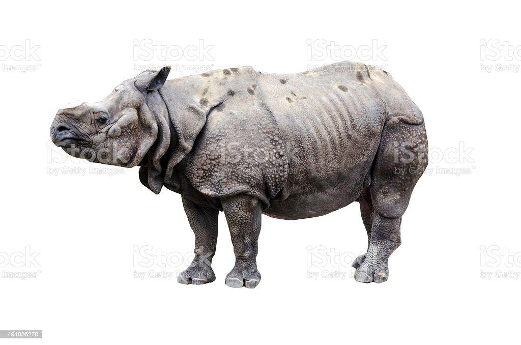 Great Indian Rhinoceros stock photo