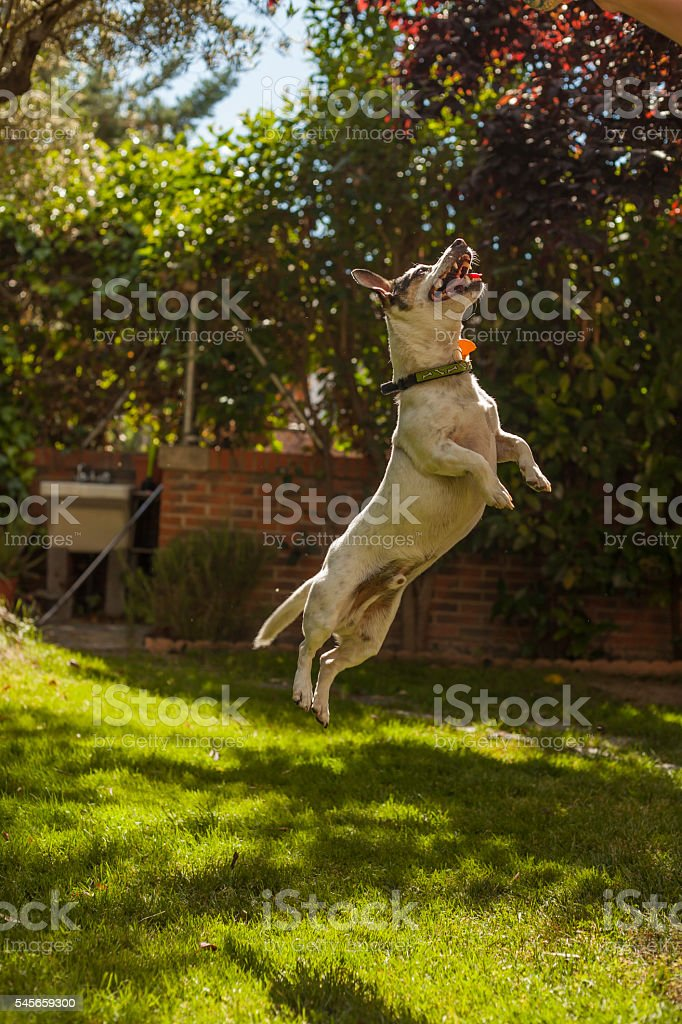 Great jump of a happy Jack Russell terrier stock photo