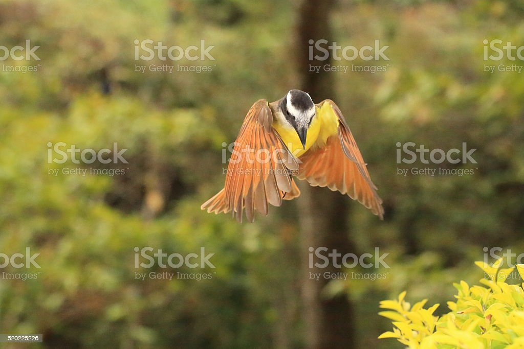 Great Kiskadee Flying Front View stock photo