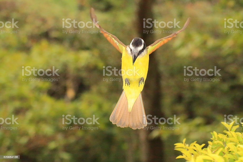 Great Kiskadee Flying to a Stop stock photo