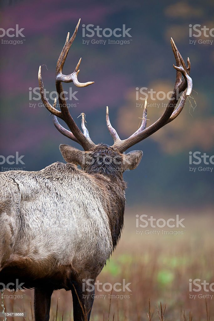 Great male elk looks over his flock royalty-free stock photo