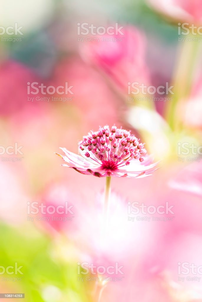 Great masterwort (Astrantia major), high-key - I stock photo