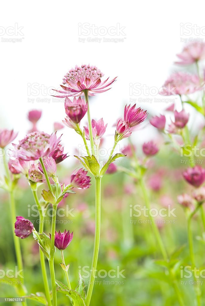 Great masterwort (Astrantia major) - II royalty-free stock photo