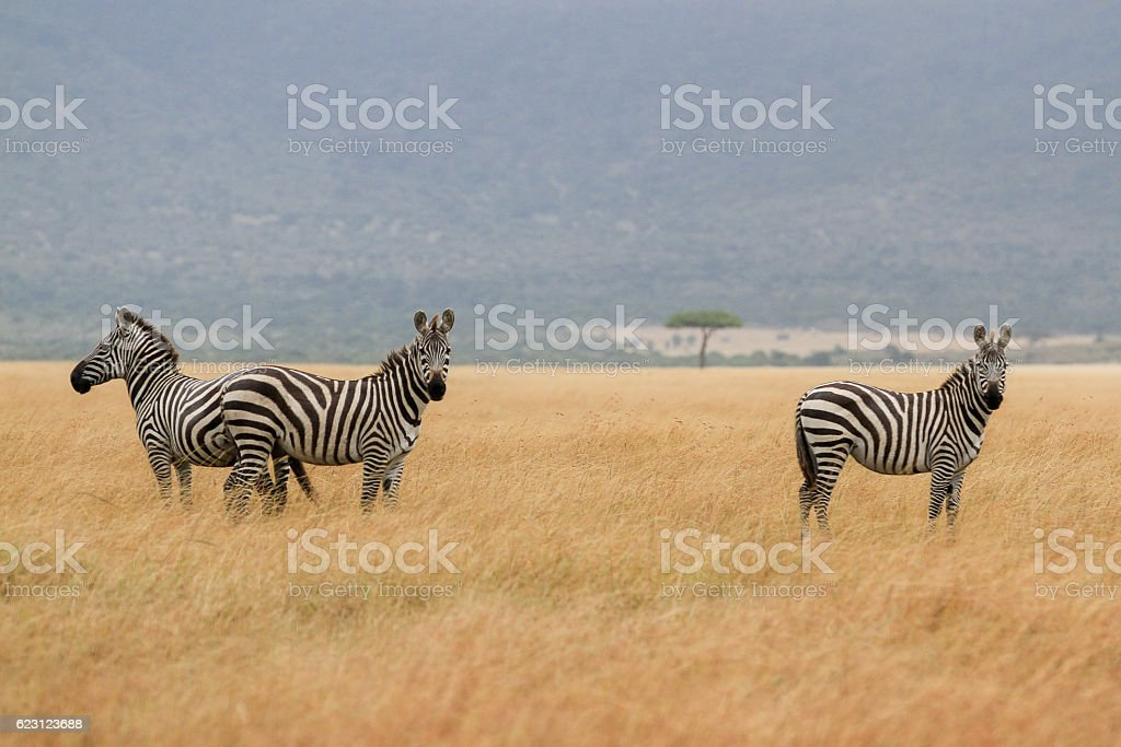 Great Migrations of Serengeti stock photo