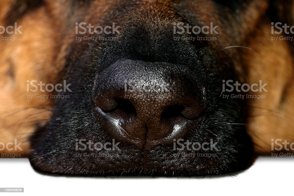 Great Nose royalty-free stock photo