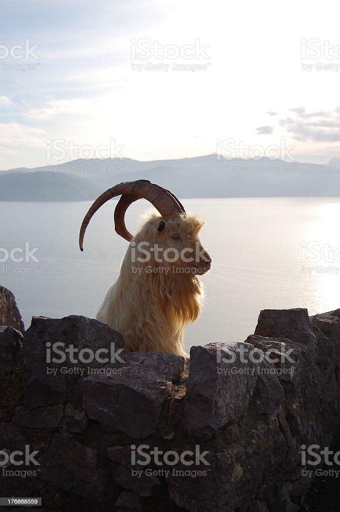 Great Orme Kashmiri Goat peering over wall stock photo