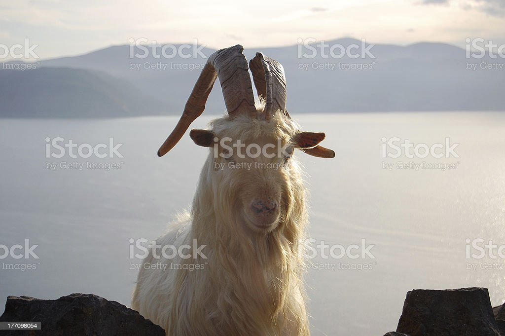Great Orme Kashmiri Goat peering over wall (Front Portrait) stock photo