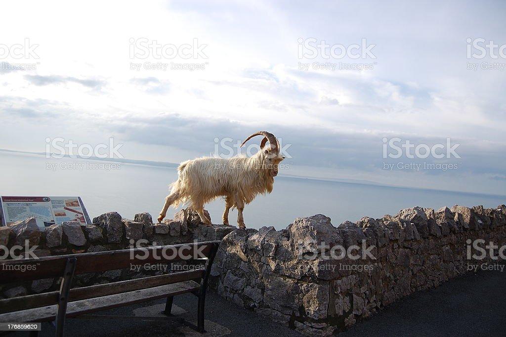 Great Orme Kashmiri Goat walking along wall stock photo