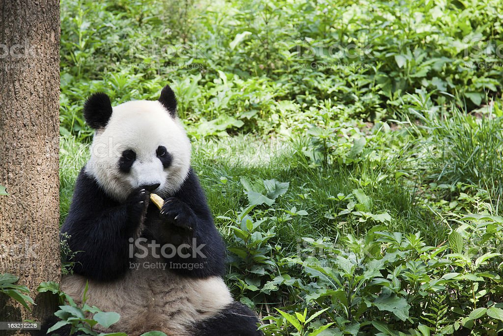 Great Panda eating banana - Chengdu, Sichuan Province, China stock photo