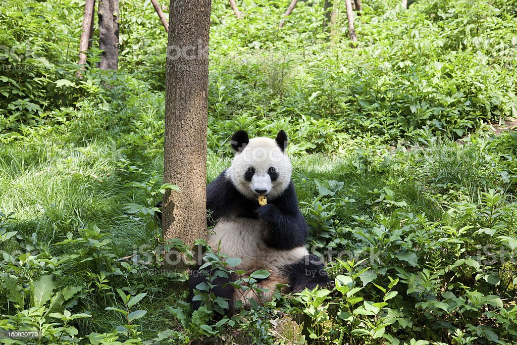 Great Panda in the nature stock photo