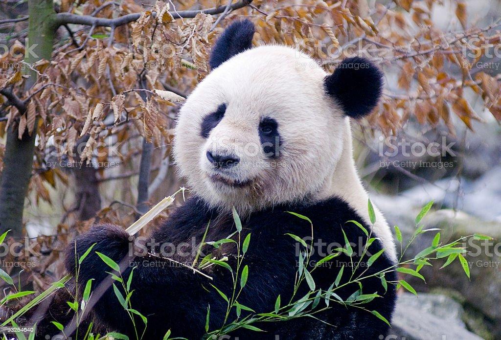 Great Panda stock photo