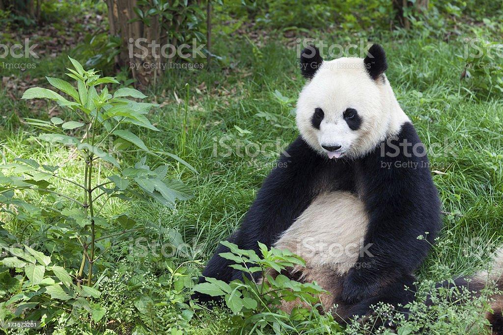 Great Panda showing its tongue - Chengdu, Sichuan Province, China stock photo