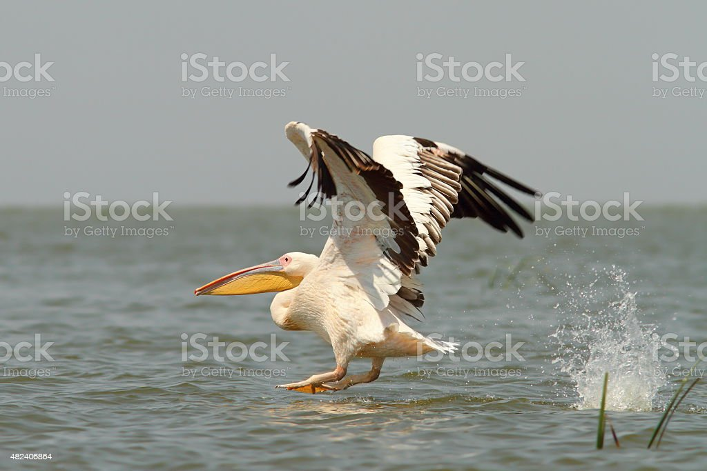 great pelican taking off from the water stock photo