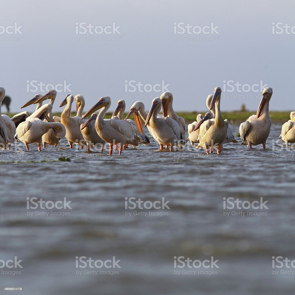great pelicans colony at Sahalin royalty-free stock photo