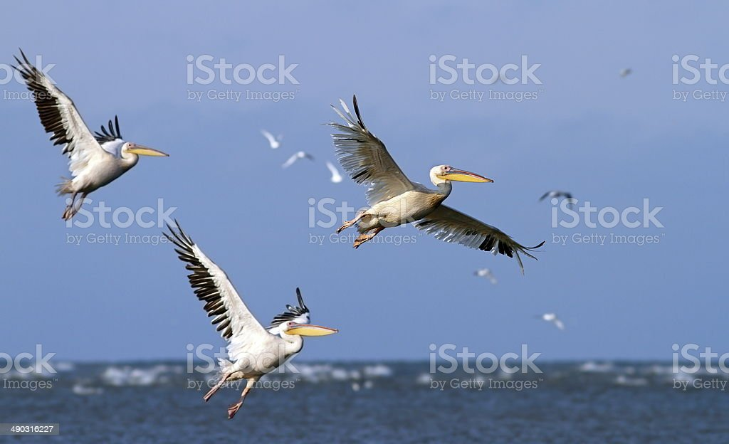 great pelicans taking off from sea surface royalty-free stock photo