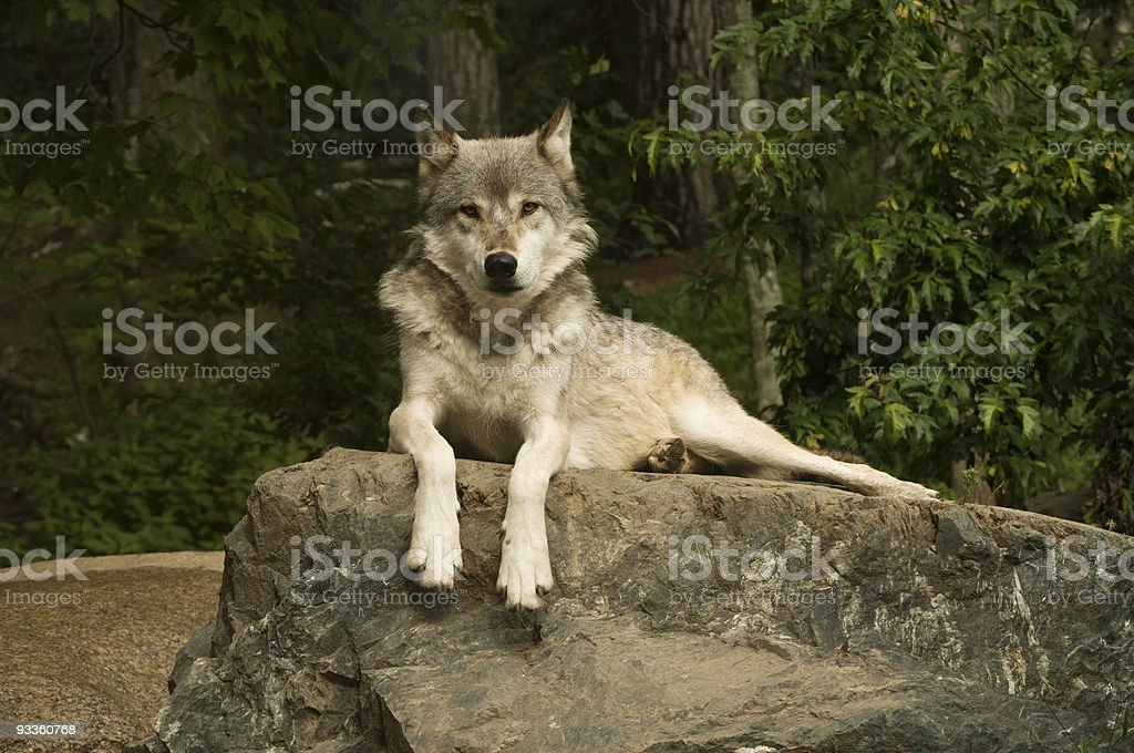 great plains wolf on rock royalty-free stock photo