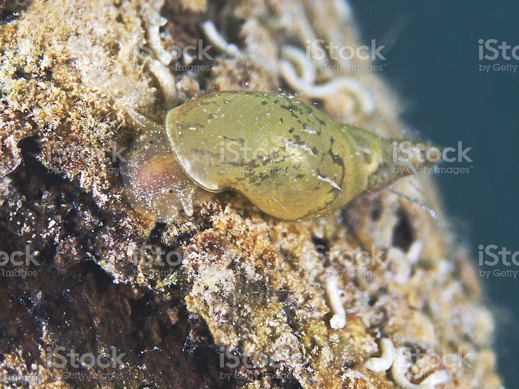 Great pond snail, Spitzschlammschnecke (Lymnaea stagnalis) royalty-free stock photo