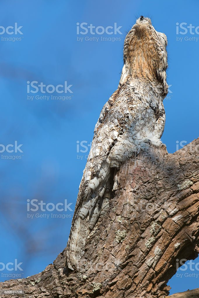 Great Potoo close up stock photo