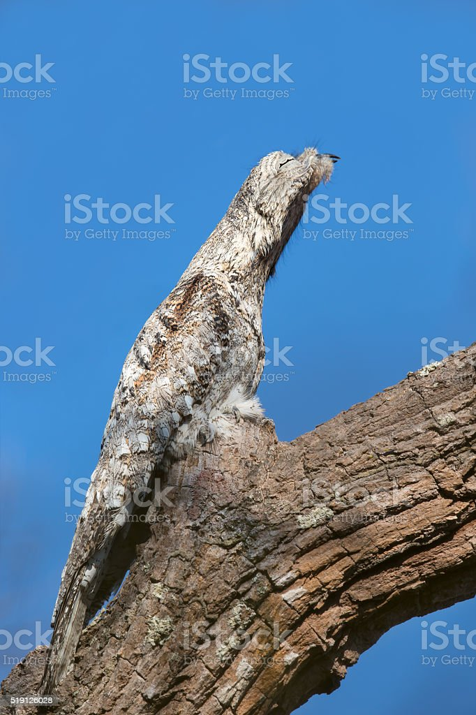 Great Potoo roosting on a tree stock photo