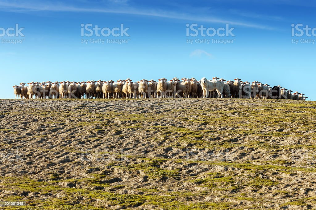 Great Pyrenees Dog Herding Sheep in Tuscany, Italy stock photo