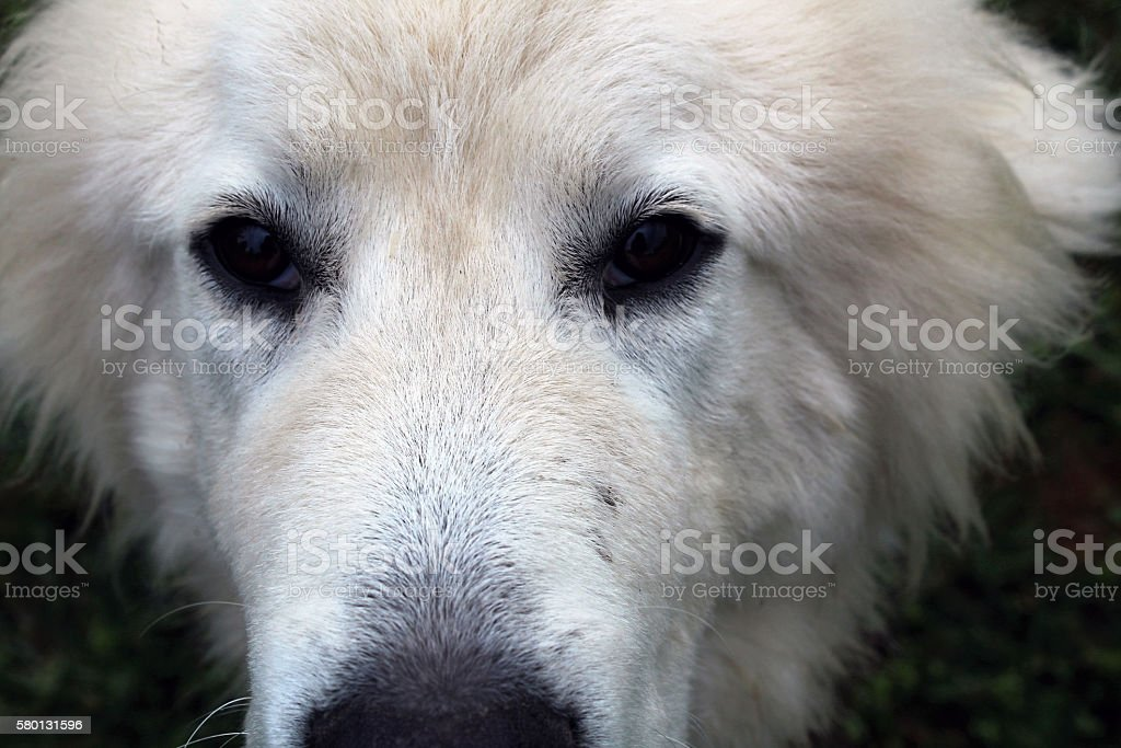 Great Pyrenees Face up close stock photo