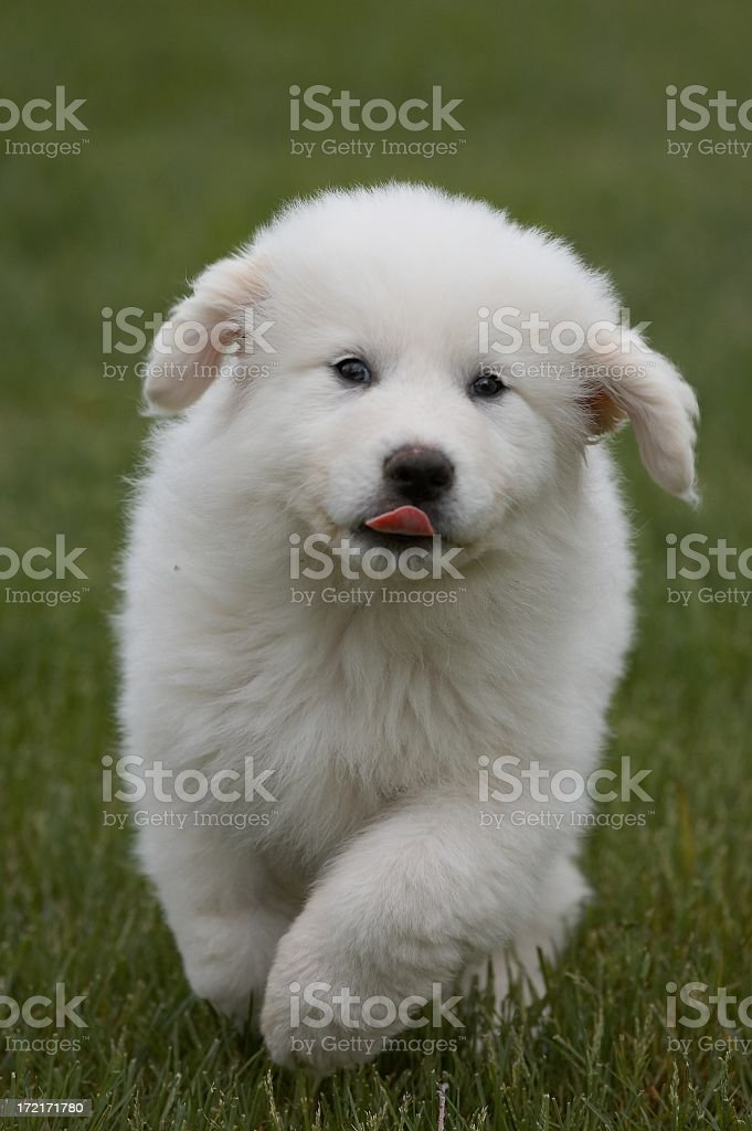 Great Pyrenees puppy stock photo