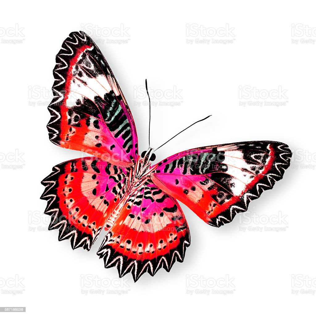 Great Red Butterfly (leopard lacewing) isolated on white backgro stock photo