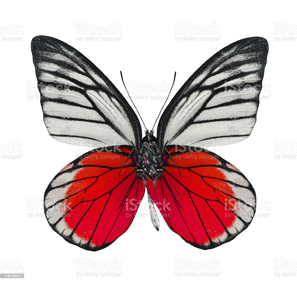 Great Red butterfly isolated on white background stock photo