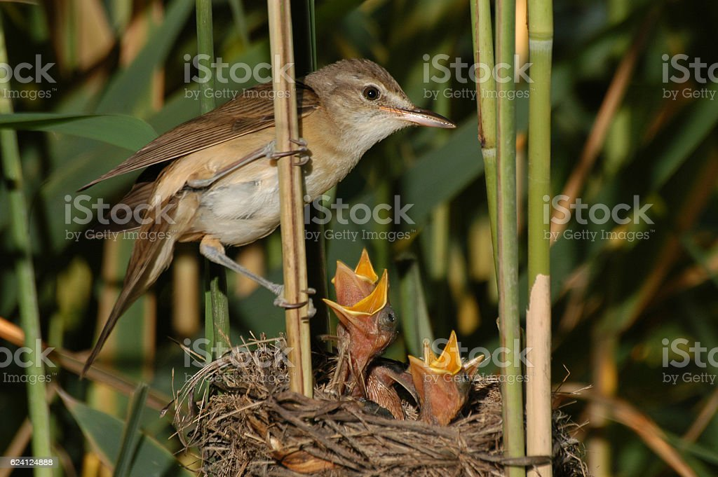 Great reed warbler ( Acrocephalus arundinaceus)at the nest stock photo
