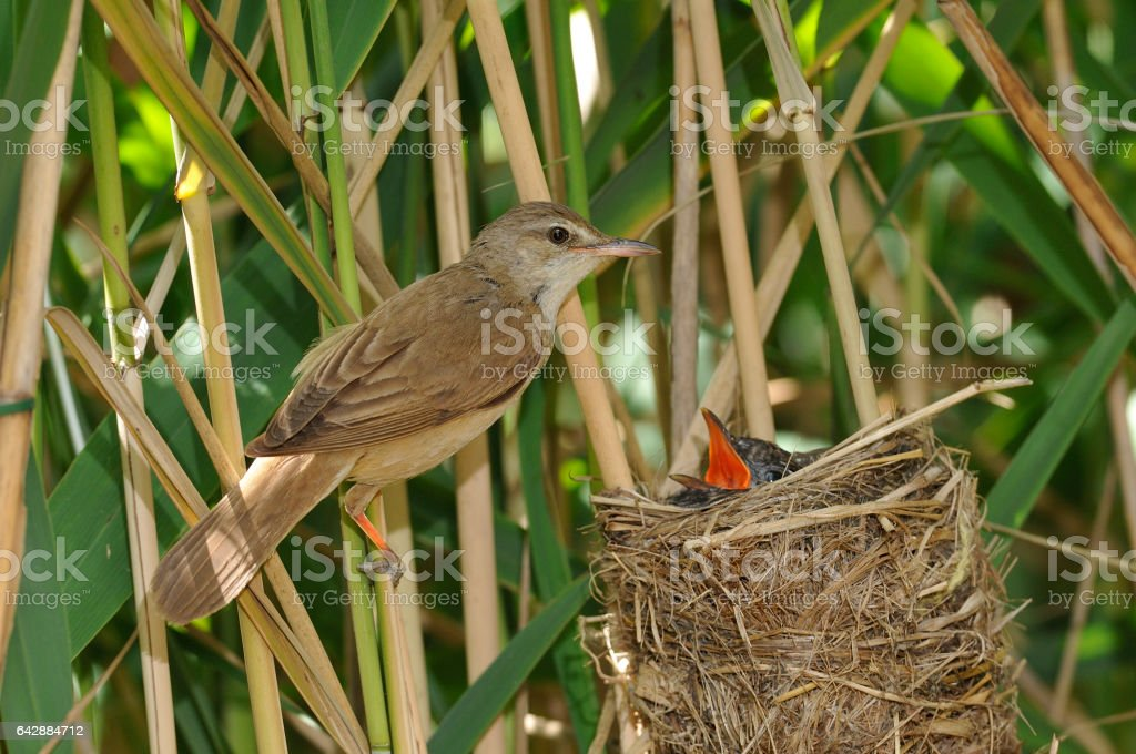 Great reed warbler ( Acrocephalus arundinaceus) at the nest stock photo