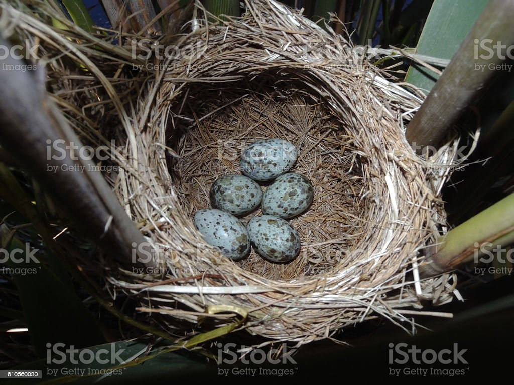 Great Reed Warbler nest and eggs stock photo