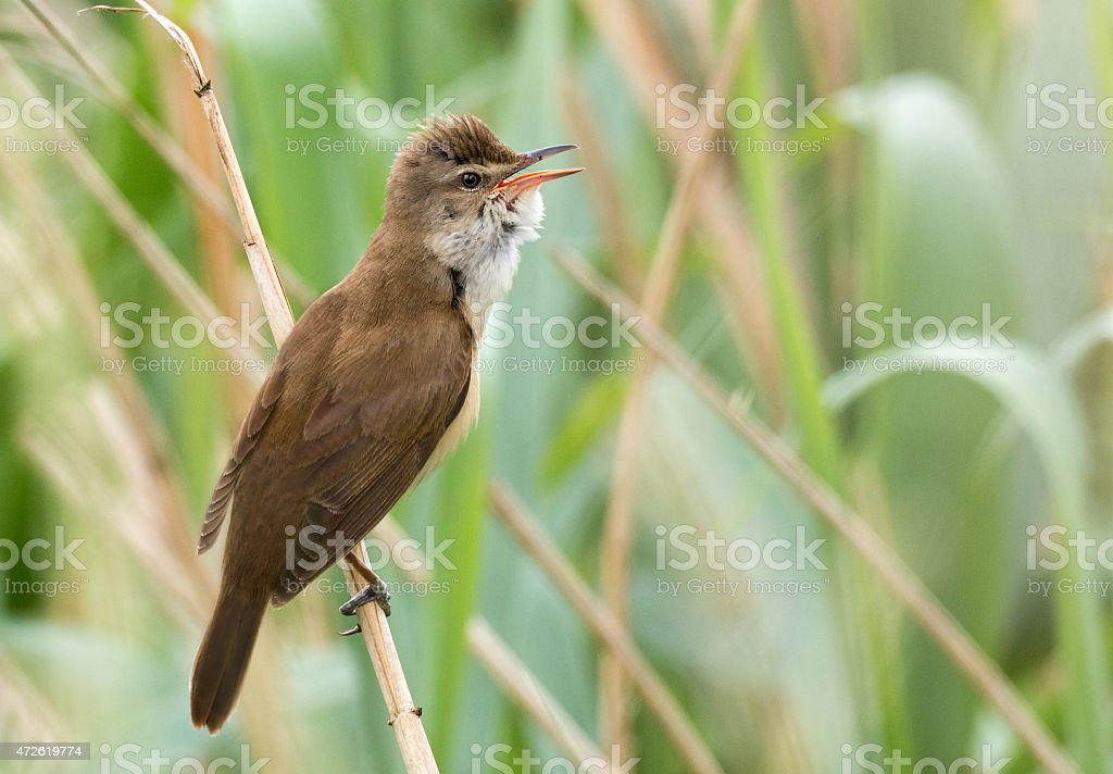 Great Reed Warbler (Acrocephalus arundinaceus) stock photo