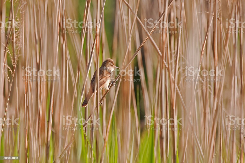 Great reed warbler stock photo