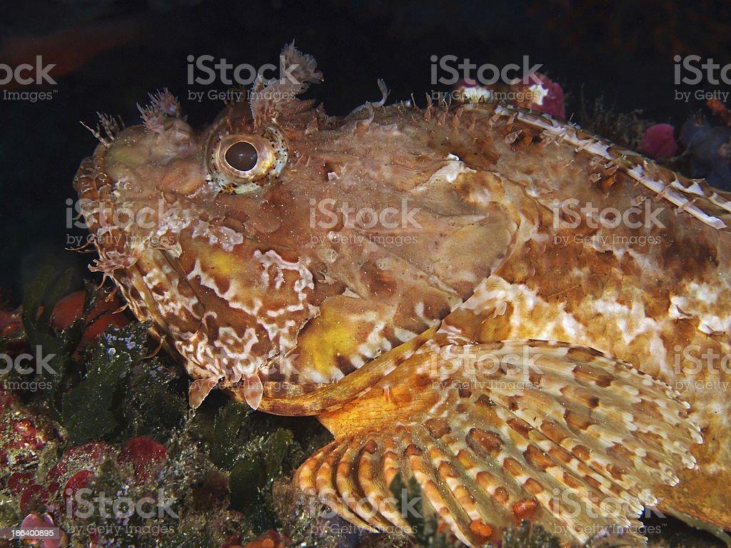 Great rockfish, Grosser Roter Drachenkopf (Scorpaena scrofa) royalty-free stock photo