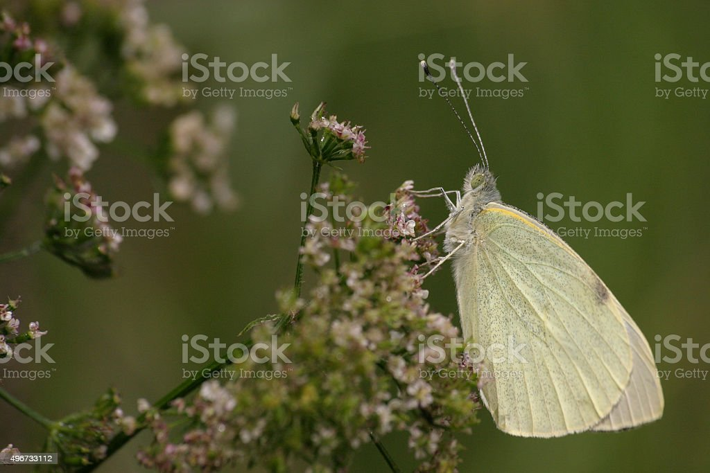 Great southern white stock photo