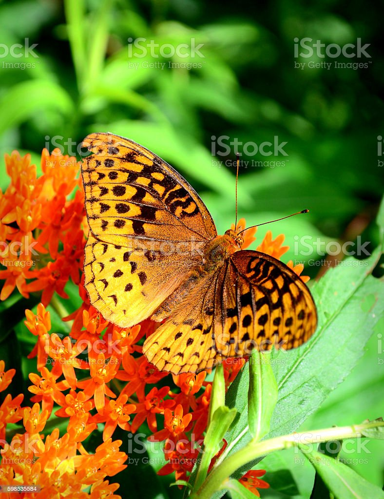 Great Spangled Fitillary Butterfly stock photo