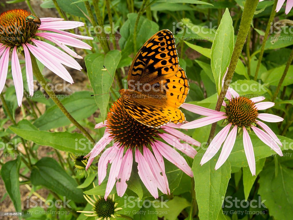Great Spangled Fritillary Butterflie Nectaring on Pink Coneflower stock photo