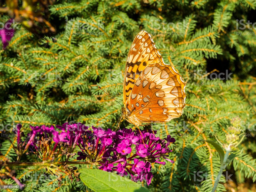 Great Spangled Fritillary Butterflies on Butterfly Bush stock photo