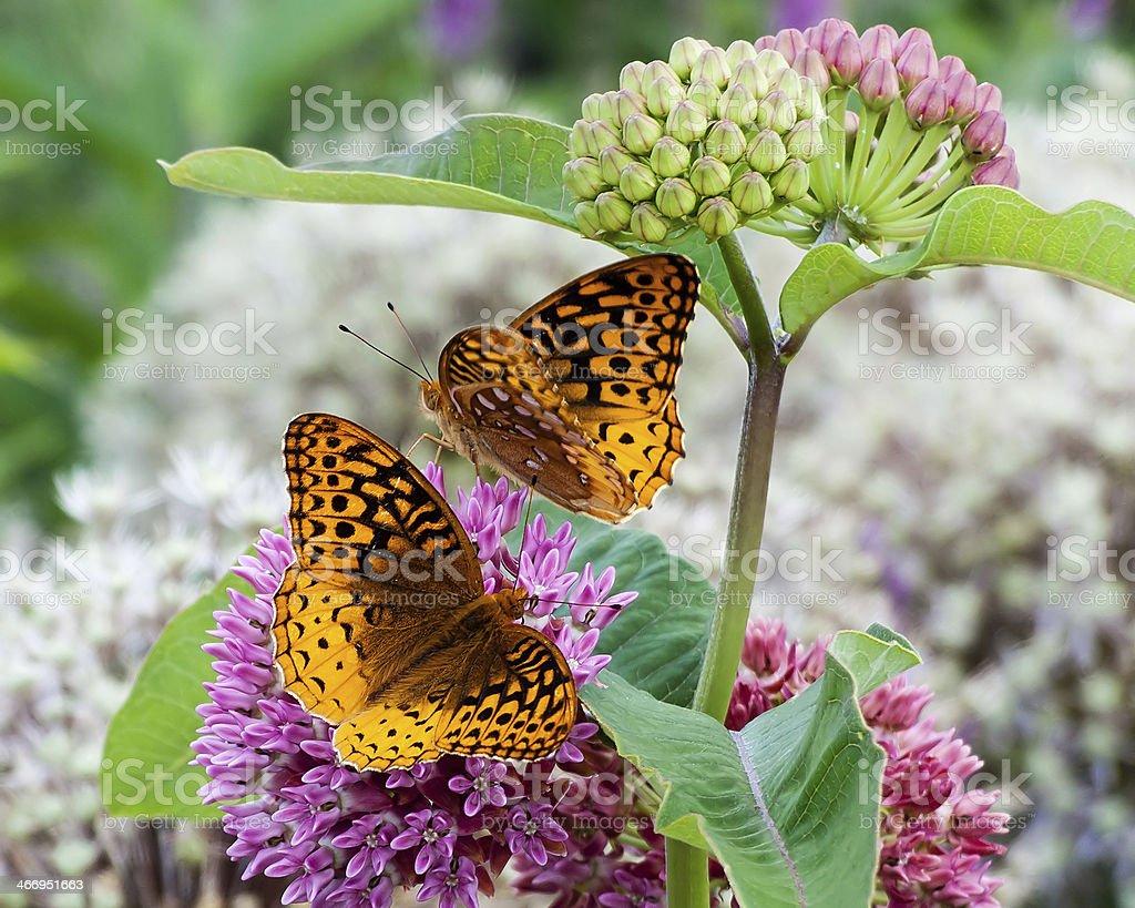 Grande strisce di farfalle di Fritillary foto stock royalty-free
