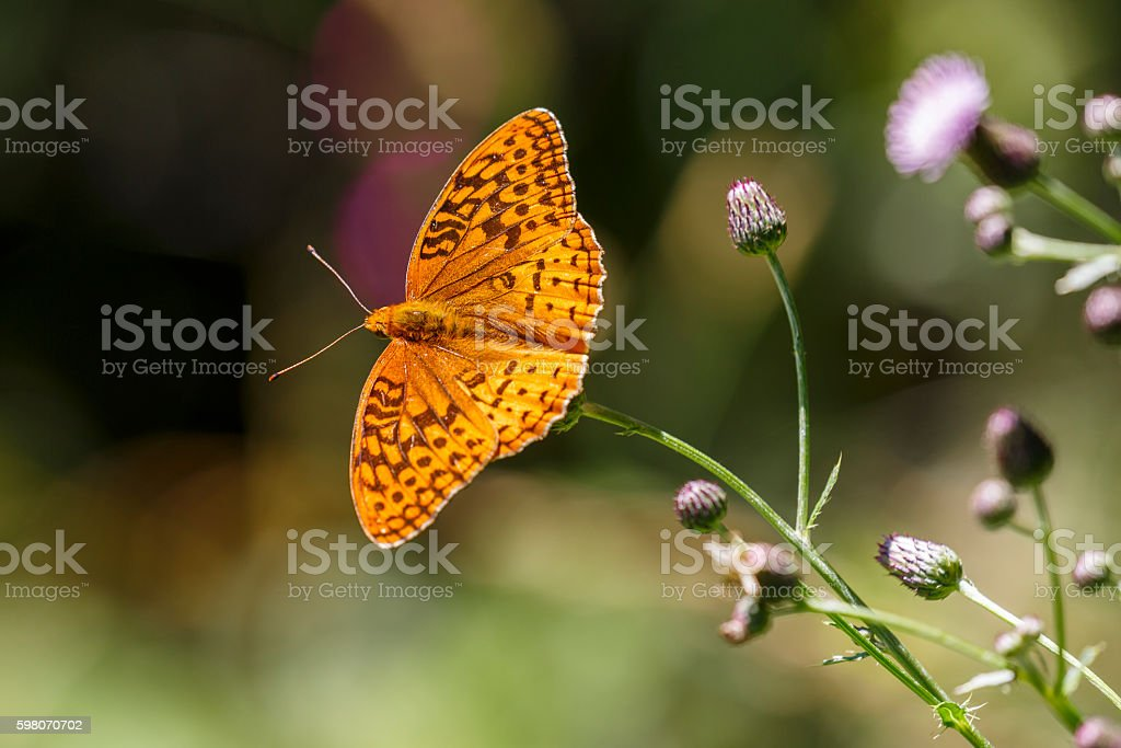 Great Spangled Fritillary Butterfly on Clover stock photo