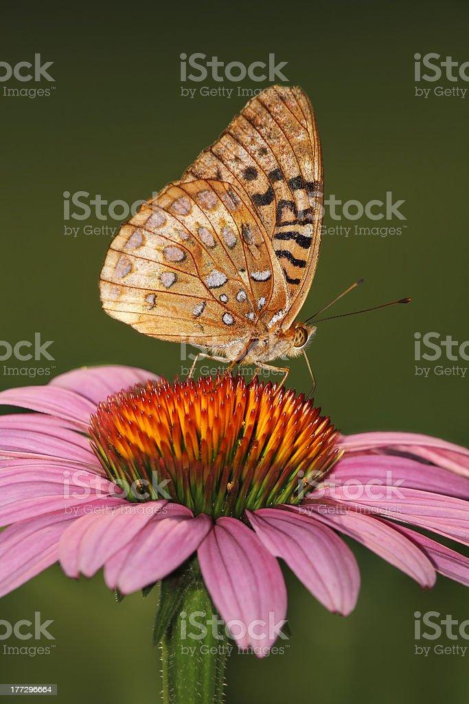 Great Spangled Fritillary stock photo