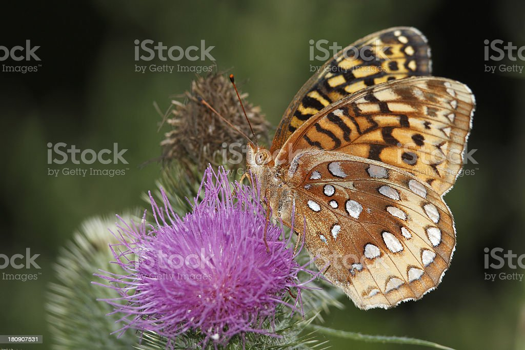 Great Spangled Fritillary Pollinating a Canada Thistle royalty-free stock photo