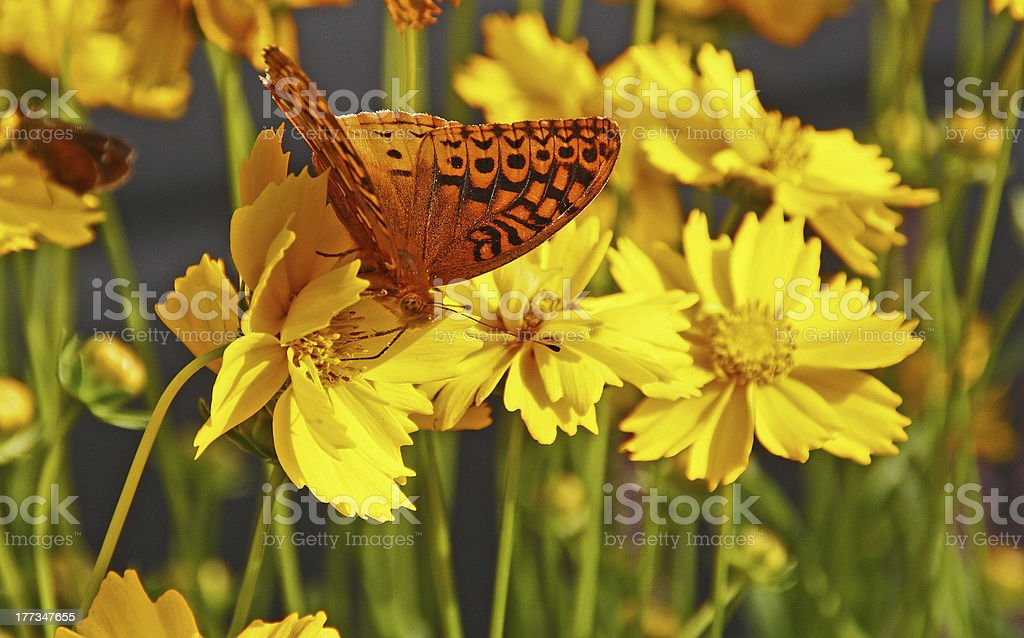 Great Spangled Frittilary butterfly on Coreopsis stock photo
