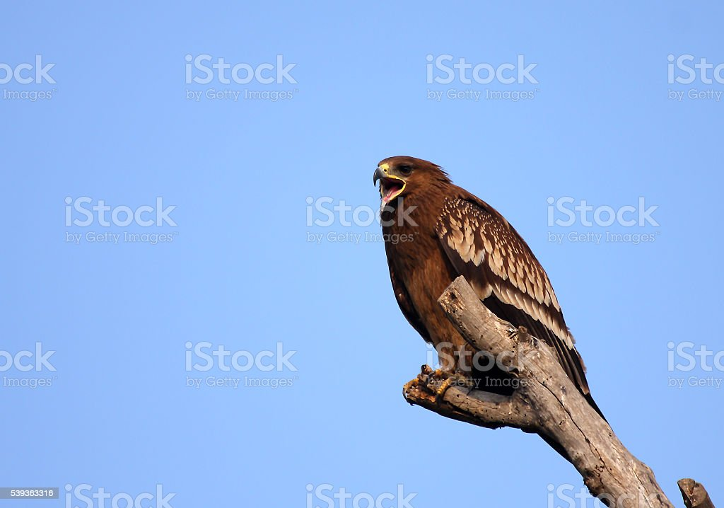 Great Spotted eagle stock photo