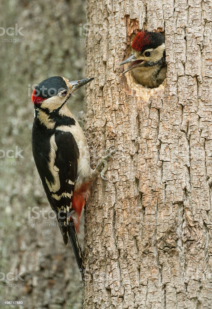 Great spotted woodpecker (Dendrocopos major) communication stock photo
