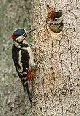 Great spotted woodpecker (Dendrocopos major) communication